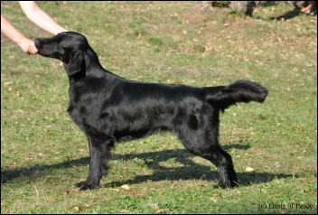 Flat Coated Retriever Darling Oasis of Peace
