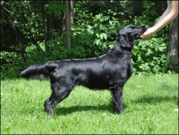 Flat Coated Retriever Eileen Oasis of Peace