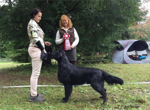 Flat Coated Retriever Gargamel Oasis of Peace FCR Trophy Show 2017