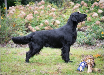 Flat Coated Retriever Gargamel Oasis of Peace King