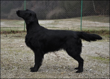 Flat Coated Retriever Geisha Oasis of Peace