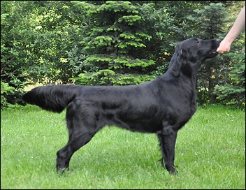 Flat Coated Retriever Hera Oasis of Peace