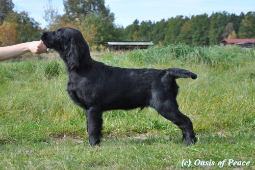 Flat Coated Retriever Caci´s Dark Chocolate of Love ČB 10.12 1