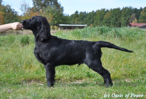 Flat Coated Retriever Caci´s Dark Chocolate of Love  ČB 10.12