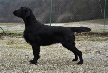 Flat Coated Retriever chovný pes Caci´s Dark Chocolate of Love