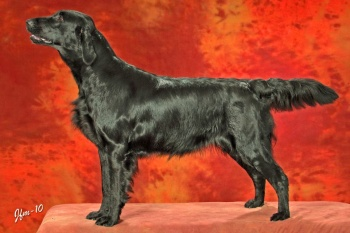 Flat Coated Retriever Caci´s She is Shining