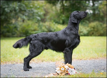 Flat Coated Retriever No Doubt Oasis of Peace