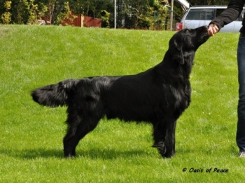 Flat Coated Retriever Sune v postoji