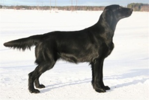 Flat Coated Retriever Camwood Hip Hip Hurray
