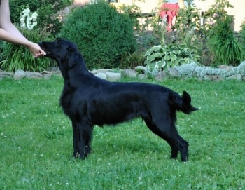 Flat Coated Retriever Rita v postoji