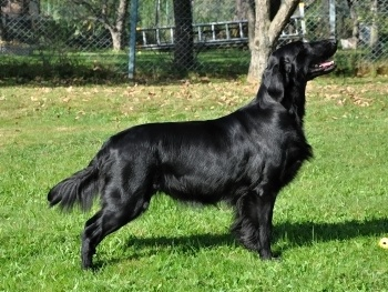 Flat Coated Retriever Rita