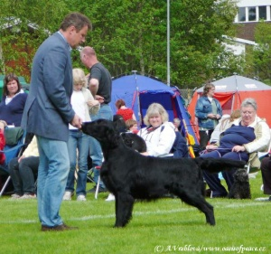 Flat Coated Retriever Branchalwood Aylancoll