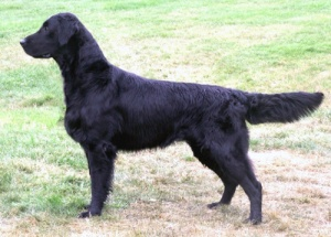 Flat Coated Retriever Toffedreams Costa Nada