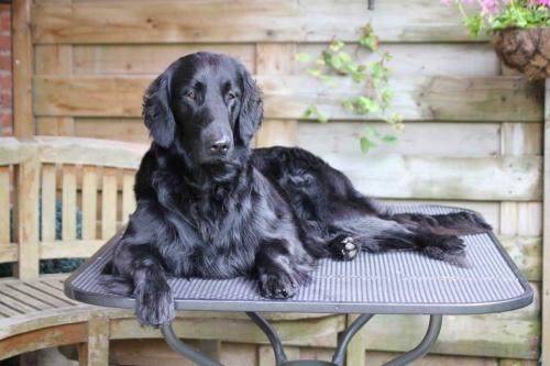 Flat Coated Retriever Brightmoor Too Much Information