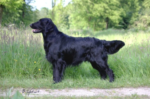 Flat Coated Retrieve rBrightmoor Too Much Information