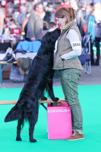 Flat Coated Retriever Brightmoor Too Much Information (c) Firts Cousjin
